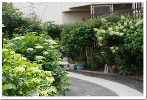 堀切菖蒲園近く 遊歩道の紫陽花 5/18