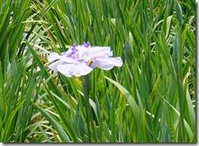 2013堀切菖蒲園一番花 「蛇の目傘」
