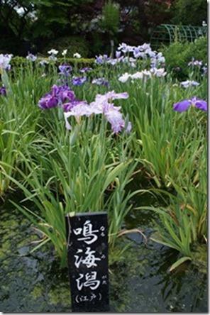 花菖蒲 「鳴海潟」(江戸系)