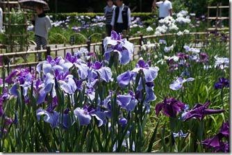 2012/6/2堀切菖蒲園
