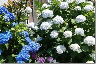 堀切菖蒲園手前の遊歩道の紫陽花も綺麗に開花中です。