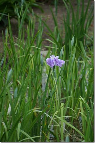 咲き始めた2014年堀切菖蒲園の花菖蒲 5/20