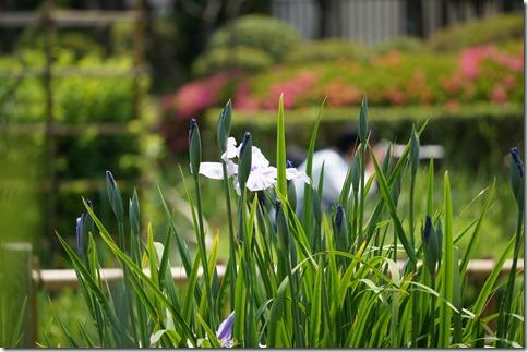 2014/5/24 咲き始めの堀切菖蒲園の様子