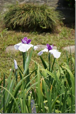 2014/5/24 咲き始めの堀切菖蒲園の花菖蒲