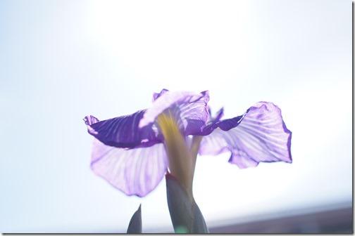 日に照らされた花菖蒲 「長良川」
