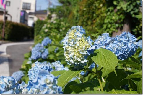 5/30(金)堀切菖蒲園近くの紫陽花