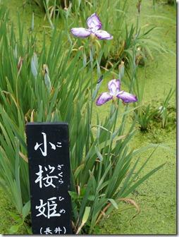 花菖蒲「小桜姫」