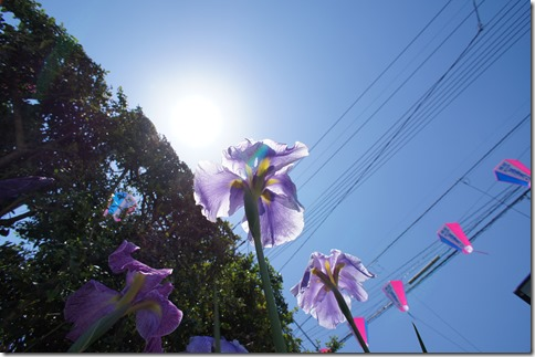 2014/6/1 菖蒲まつり初日 燦々とした太陽と花菖蒲