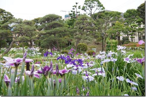 2014/6/4 堀切菖蒲園