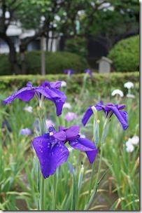 2014/6/12(木)堀切菖蒲園の花菖蒲
