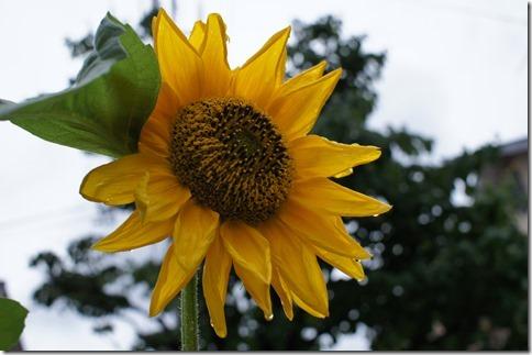 雨に濡れた向日葵