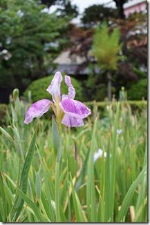 6/28 雨上がりの花菖蒲 堀切菖蒲園
