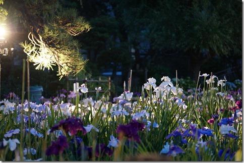 2014/6/13(金)19時ごろ 堀切菖蒲園ライトアップ