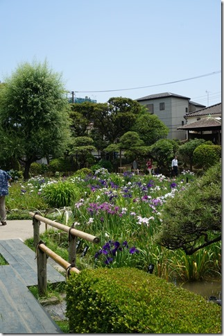 2014/6/19(木)堀切菖蒲園の開花