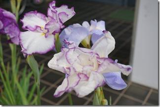 2014/6/19(木)堀切菖蒲園の花菖蒲