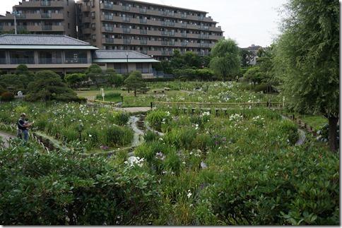6/22(日)堀切菖蒲園の開花状況