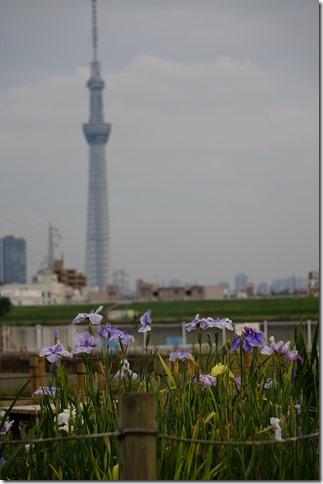 花菖蒲と東京スカイツリー 堀切水辺公園