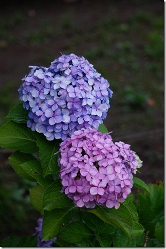 2014/6/25 堀切菖蒲園の紫陽花