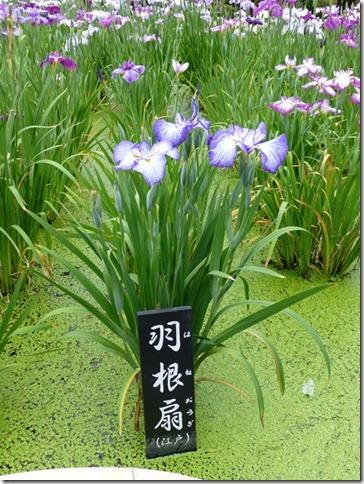花菖蒲「羽根扇」(江戸系)