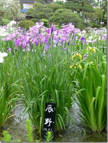 花菖蒲「辰野」(江戸系)