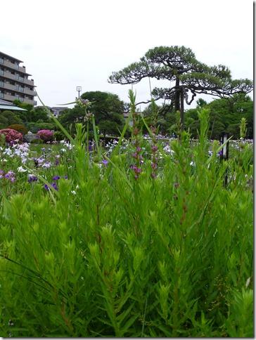堀切菖蒲園のミソハギ 2013/6/6