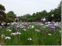 2011/6/14(火)堀切菖蒲園の開花状況