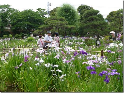 2013/6/10(月)見頃の堀切菖蒲園