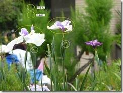 花菖蒲 一番花と二番花