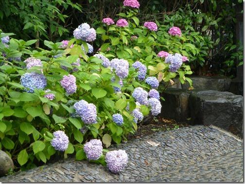 堀切菖蒲園近く 遊歩道の紫陽花