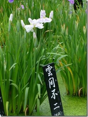 花菖蒲「雲間不二」(肥後系)