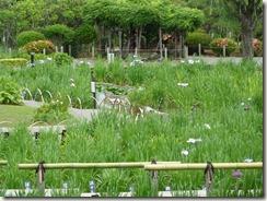 5/28(月)堀切菖蒲園の開花状況