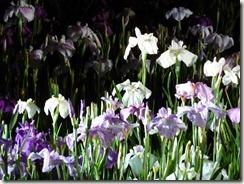 雨に滴る花菖蒲ライトアップ 堀切菖蒲園