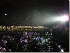 6/16(土)堀切菖蒲園ライトアップ 最終日 降る雨の中
