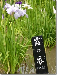 花菖蒲 霞の衣(肥後系)