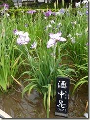 花菖蒲 「酒中花」(江戸系)