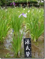 花菖蒲 「源氏螢」(江戸系)