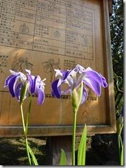 堀切菖蒲園 「カキツバタ」