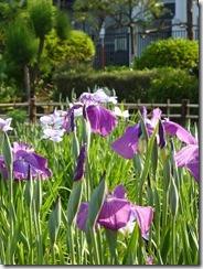 2013/5/23(木)堀切菖蒲園