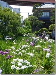 5/31(金)堀切菖蒲園の開花状況