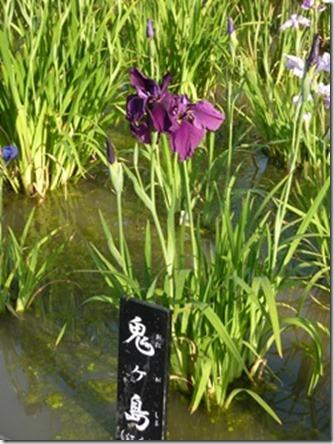 花菖蒲 「鬼ヶ島」 (江戸系)