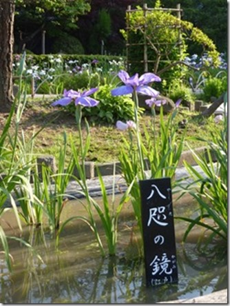 花菖蒲「八咫の鏡」(江戸系)