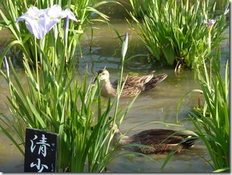 堀切菖蒲園のカモ 2羽