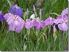 雨にぬれる花菖蒲