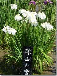 花菖蒲  「群山の雪」
