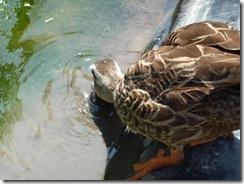 堀切菖蒲園の鴨