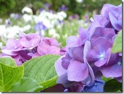 堀切菖蒲園の紫陽花